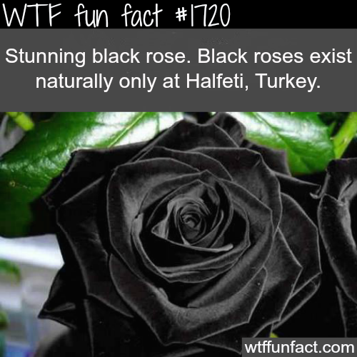Black roses in Turkey - WTF fun facts