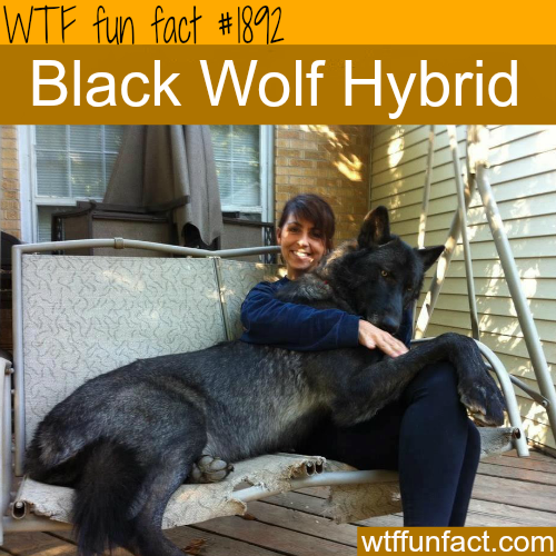 Black Wolf Hybrid - WTF fun facts