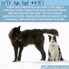 black wolf made friends with a dogs and humans