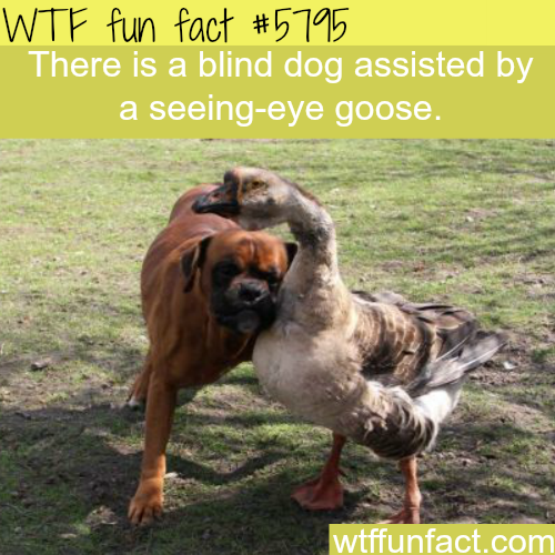 Blind dog assisted by a seeing-eye goose - WTF fun facts