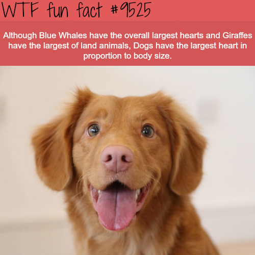 Blue Whale's heart is the largest heart in the world - WTF fun fact