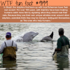 brazil has dolphins that help fishermen catch fish