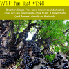 brazilian grape tree wtf fun facts