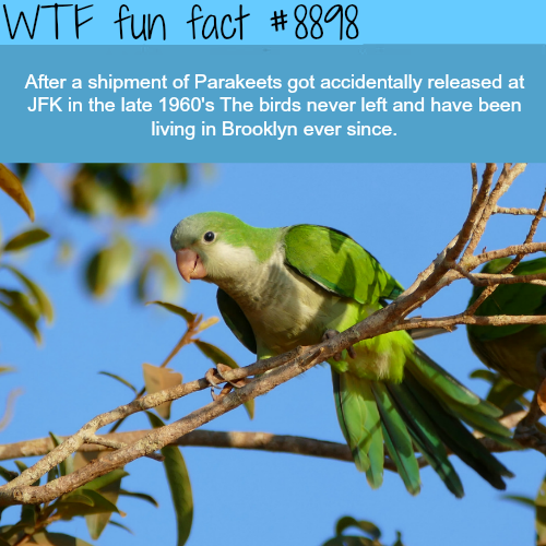 Brooklyn's parakeets - WTF fun facts