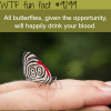 butterflies will drink your blood wtf fun fact
