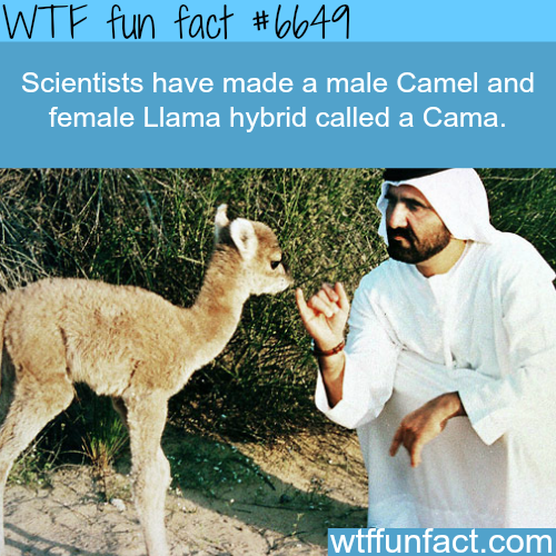 Camel and Llama hybrid: Cama - WTF fun facts