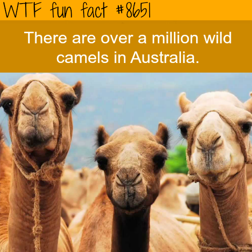 Camels in Australia - WTF fun facts