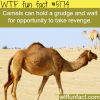 camels wtf fun facts