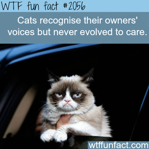 Can cats recognize their owner's voice? - WTF fun facts
