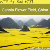 canola flower field china