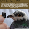 carrier pigeon faster than carrier asdl wtf fun