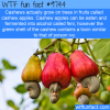 cashews actually grow on trees in fruits called