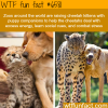 cheetah kittens and dog puppy raised together