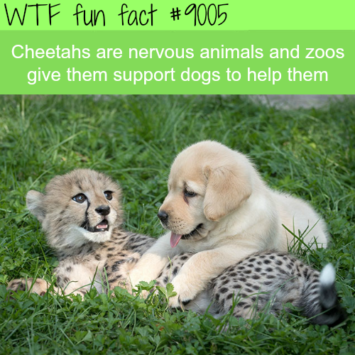 Cheetahs and dogs - WTF fun facts