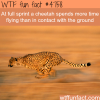 cheetahs facts wtf fun facts