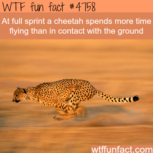 Cheetahs facts - WTF fun facts