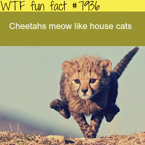 Cheetahs - WTF fun facts