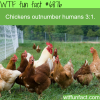 chicken population wtf fun fact