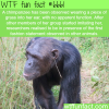 chimpanzee fashion wtf fun fact