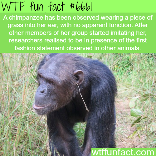 Chimpanzee fashion - WTF fun fact