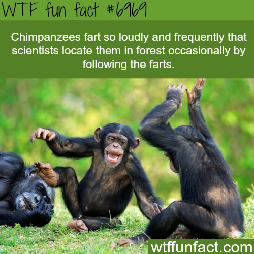 Chimpanzee's fart - WTF fun fact