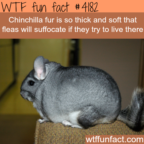 Chinchilla fur -  WTF fun facts