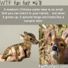 chinese water deer wtf fun fact