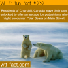 churchill canada polar bears