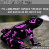 clown frog costa rican varbable harlequin toad