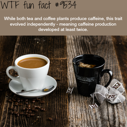 Coffee and Tea - WTF fun fact