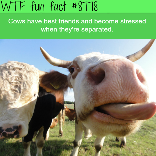 Cows have best friends - WTF fun facts