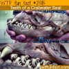 crabeater seal s teeth