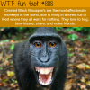 crested black macaque wtf fun facts