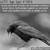 crows facts