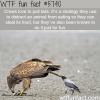 crows pulling tails wtf fun facts