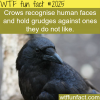 crows recognise human faces
