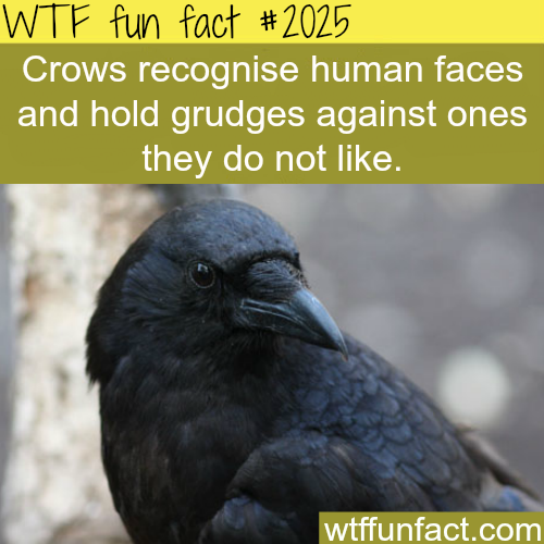 Crows recognise human faces -WTF fun facts