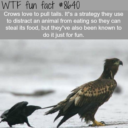 Crows trolling other animals - WTF fun facts