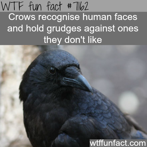 Crows will grudges on the humans they don't like  - WTF Fun Fact