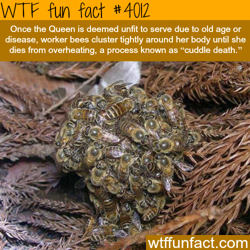 Cuddle Death - WTF fun facts