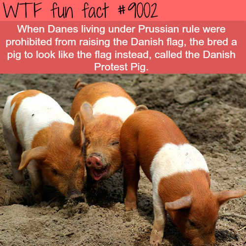 Danish Protest Pig - WTF fun facts