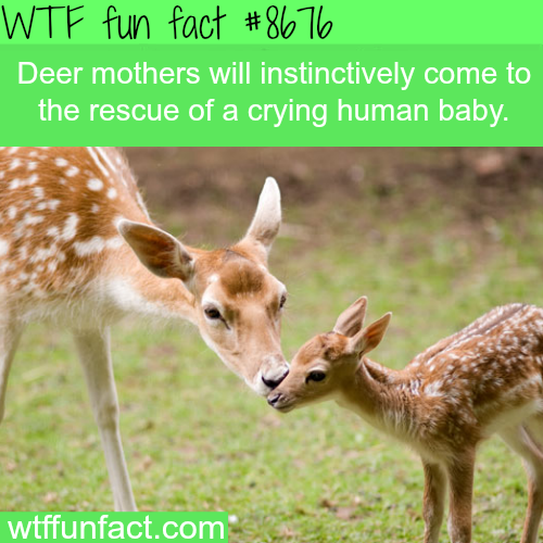 Deer mothers will rescue a crying human baby - WTF fun facts