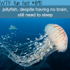 do jellyfish sleep wtf fun fact