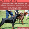 dobermans wtf fun facts