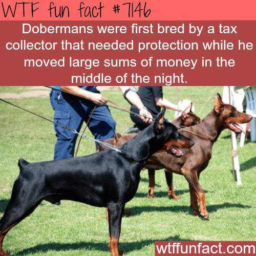 Dobermans - WTF fun facts