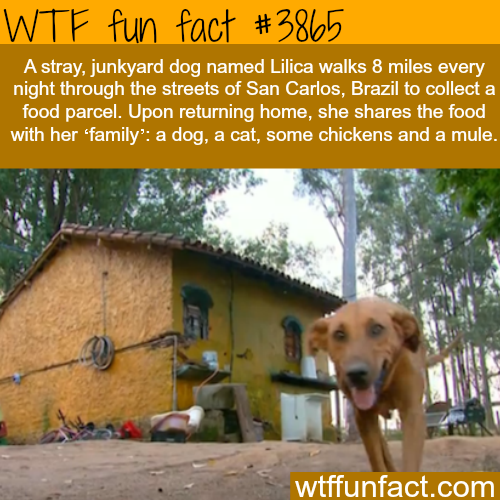 Dog walks 8 miles to get food for his family of other animals - WTF fun facts