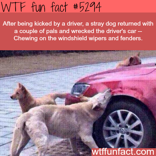 Dog wrecks a driver's car because he kicked him - WTF fun facts