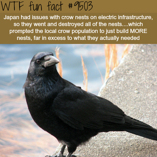 Don't mess with the crows - WTF Fun Fact