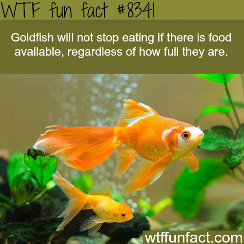 Don't overfeed your goldfish - WTF fun facts