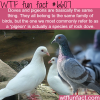 doves and pigeon wtf fun facts